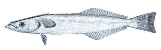 Spearfish_remora